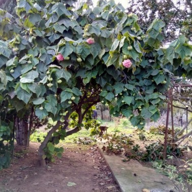 dombeya wallichii adulta